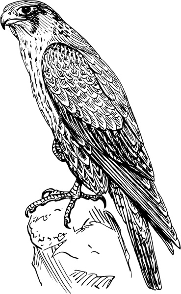 369x600 Peregrine Falcon Free Vector In Open Office Drawing Svg ( .svg