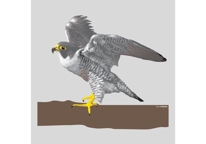 700x490 Falcon