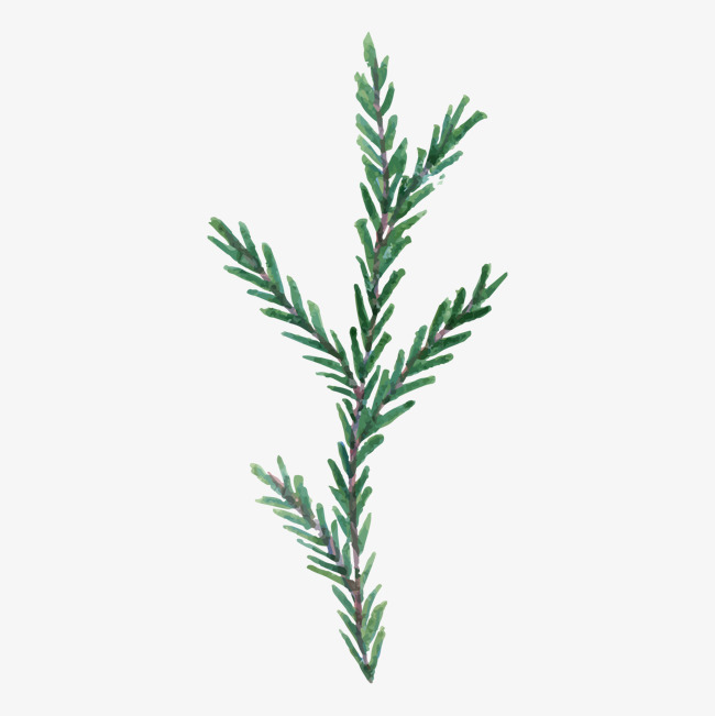 650x651 Pine Branch Png, Vectors, Psd, And Clipart For Free Download Pngtree