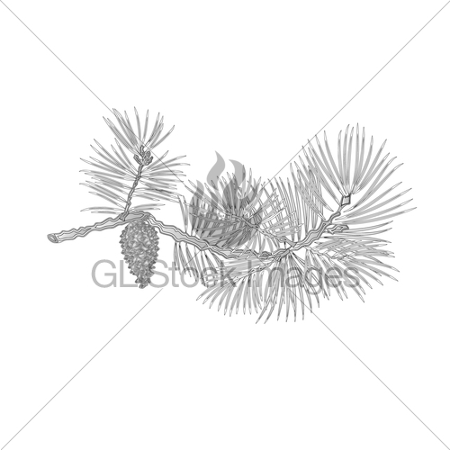 500x500 Pine Branch With Pine Cone As Vintage Engraving Vector Gl Stock