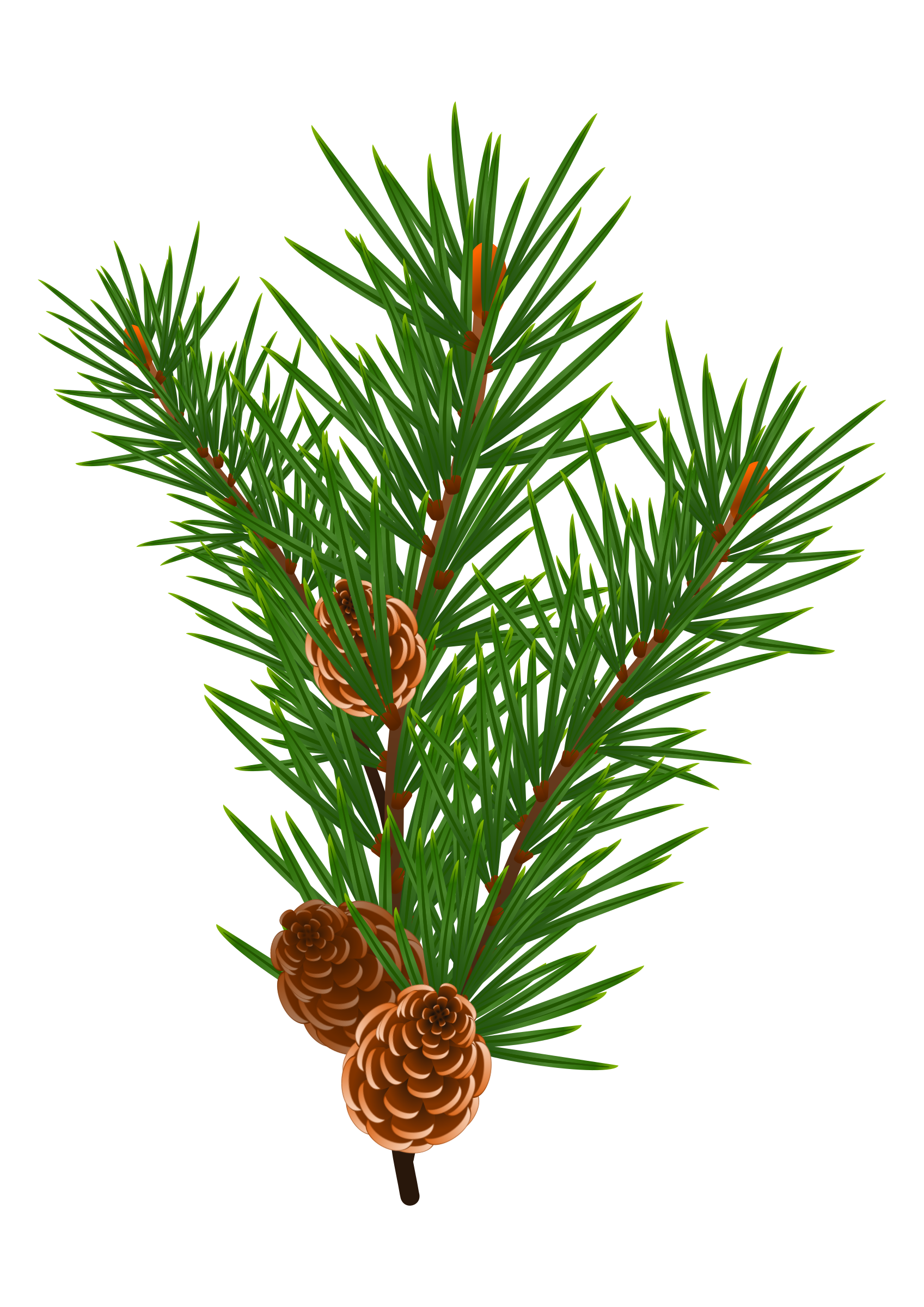 1697x2400 Pine Branch With Pine Cones Vector Clipart Image