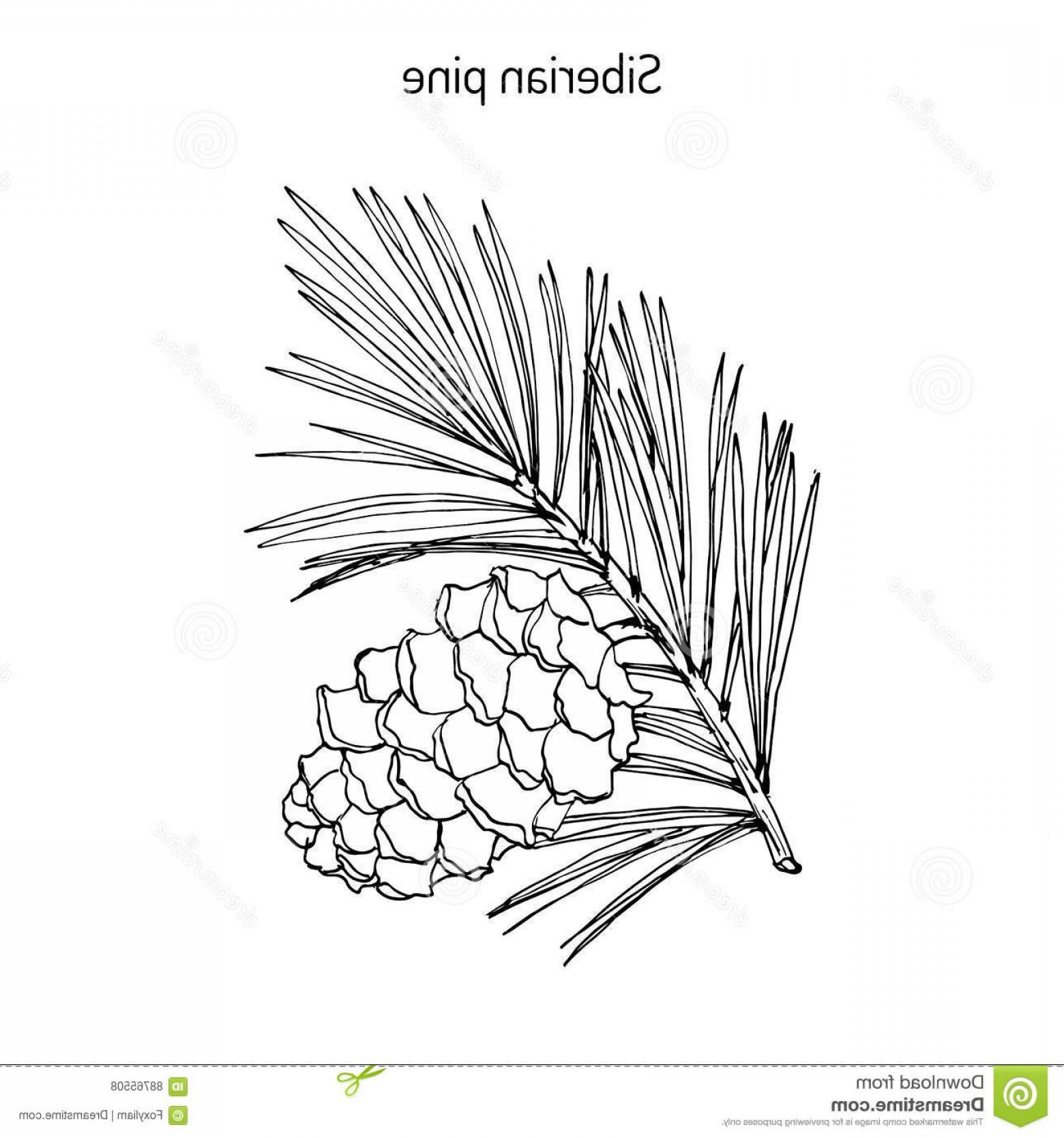 1560x1668 Stock Illustration Pinus Sibirica Siberian Pine Branch Cone Hand