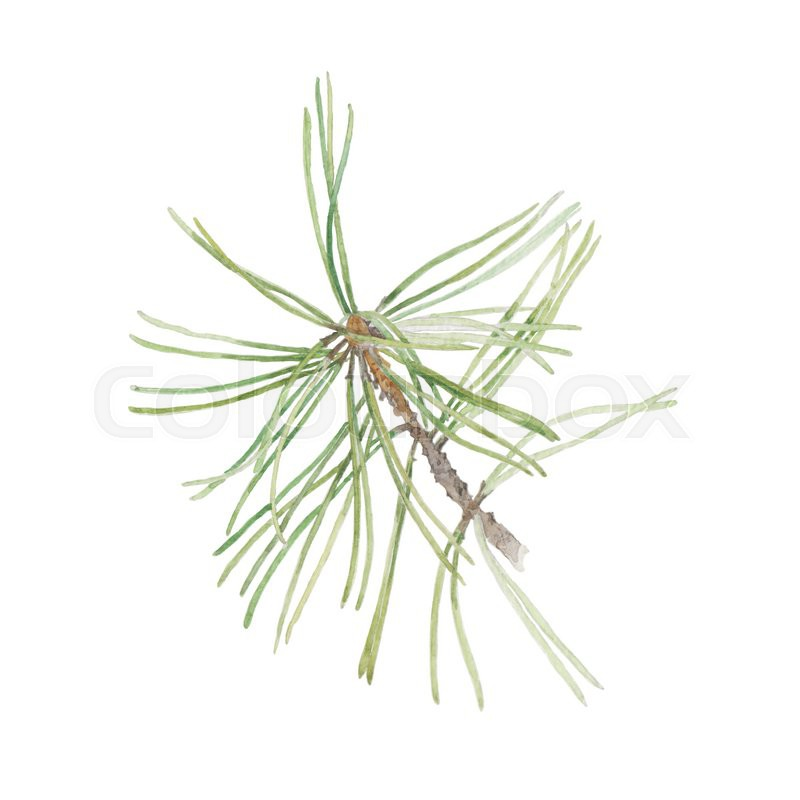 800x800 Watercolor Illustration With Pine Branch Isolated On White