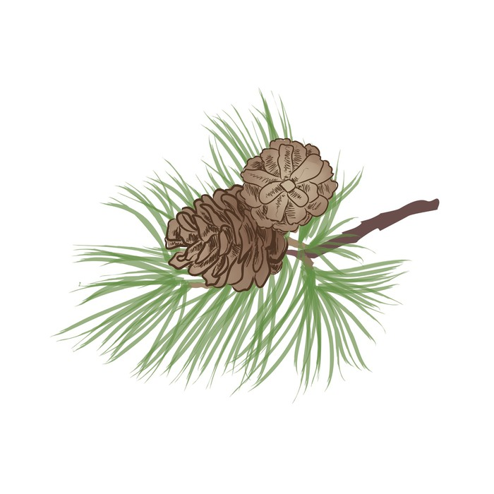 700x700 Pine Tree Branch. Pinecone Collection. Vector Pine Cone Set. Wall