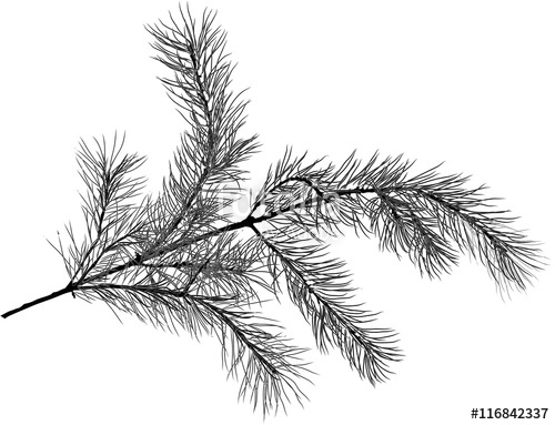 500x383 Black Pine Tree Branch Sketch Isolated Illustration Stock Image