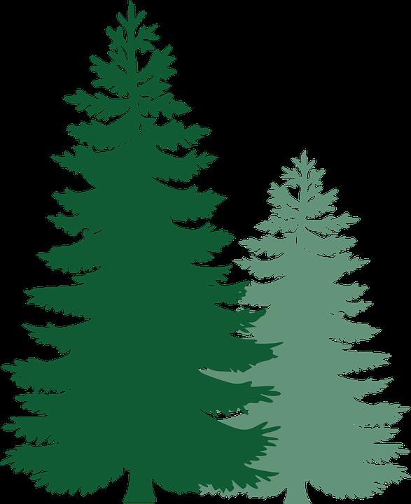 587x720 Free Image On Pixabay Pine Trees Spruce Trees Pine Tree Vector Art