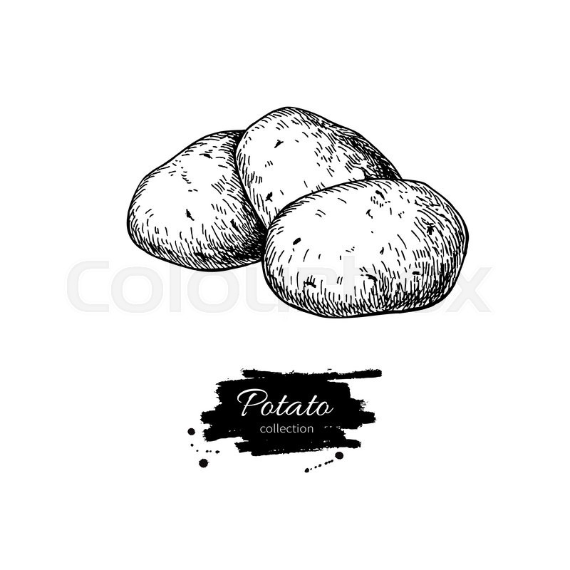 800x800 Potato Vector Drawing. Isolated Potatoes Heap. Vegetable Engraved