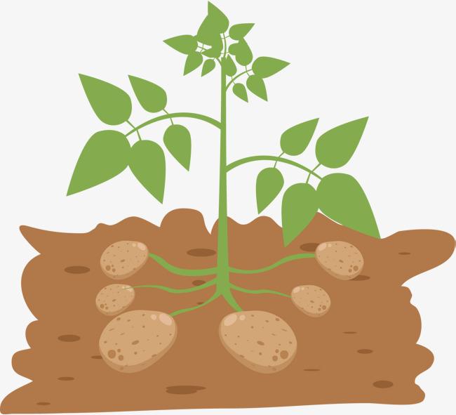 650x591 Vector Potato, Vector Diagram, Potato, Green Plants Png And Vector