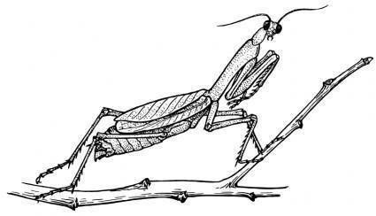 425x244 Praying Mantis Free Vector 4vector