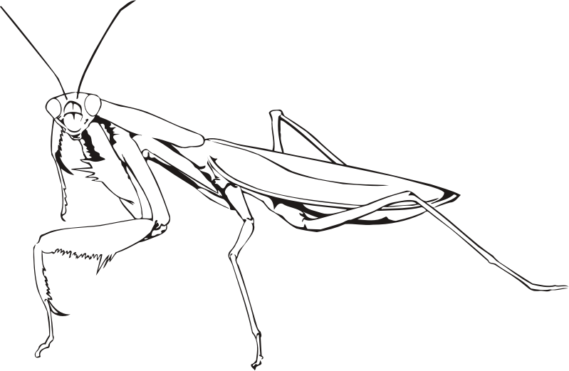 799x521 Collection Of Free Head Vector Praying Mantis. Download On Ubisafe