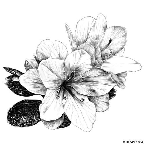 500x500 A Bouquet Of Azalea Flowers Sketch Vector Graphics Monochrome
