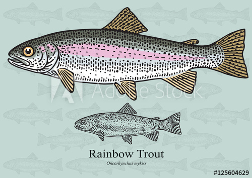 500x354 Rainbow Trout. Vector Illustration For Artwork In Small Sizes