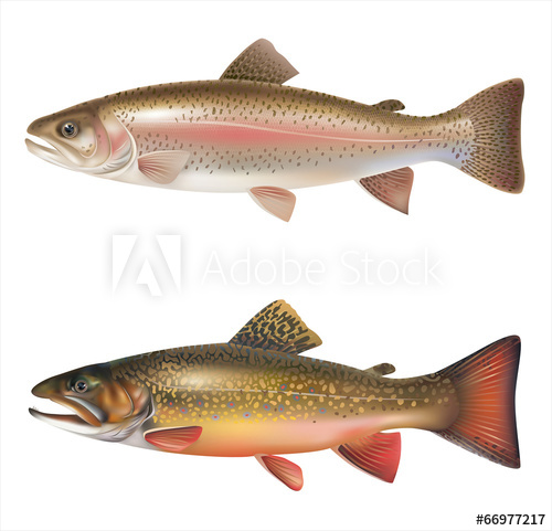 500x481 Rainbow Trout And Brook Trout Isolated On White. Vector
