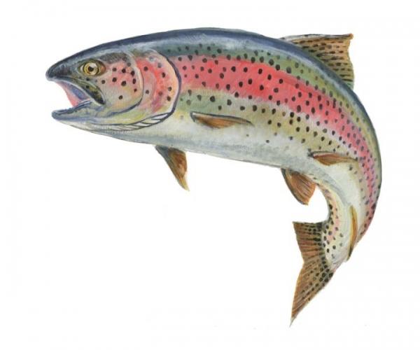 600x500 Rainbow Trout Clipart