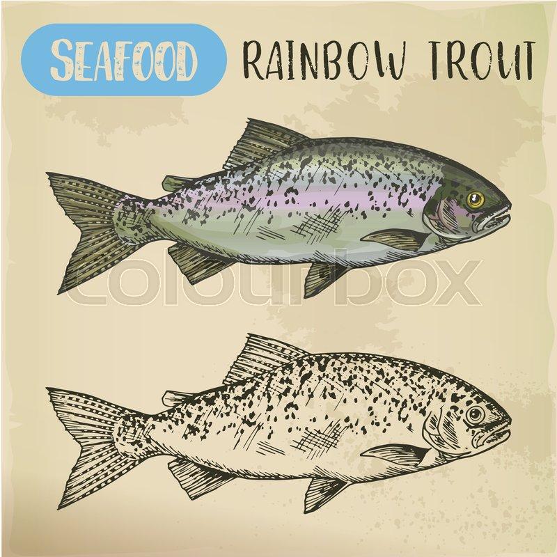 800x800 Sketch Of Rainbow Trout, Steelhead Or Coastal, Redband Salmonid