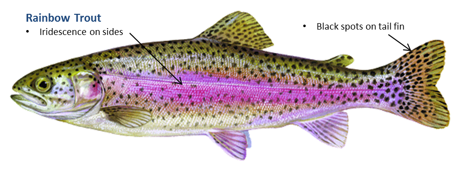 938x345 Trout, Rainbow Oklahoma Department Of Wildlife Conservation