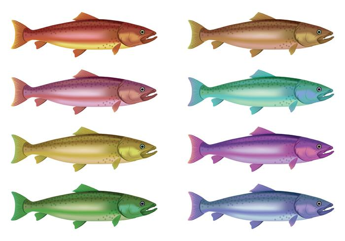 700x490 Vector Of Rainbow Trout