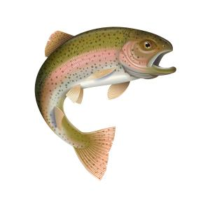 300x300 Detailed Vector Illustration Of A Rainbow Trout Arenawp