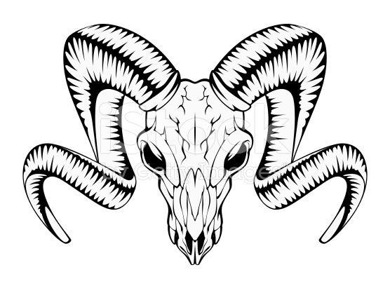 556x408 Ram Skull On A White Background Rams Ram Skull