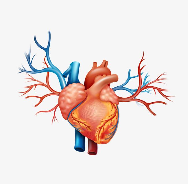 650x635 Realistic Heart, Heart Clipart, Vector Heart, Cartoon Heart Png
