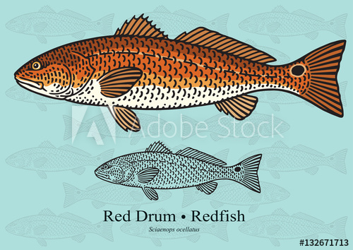 500x354 Red Drum, Redfish. Vector Illustration For Artwork In Small Sizes