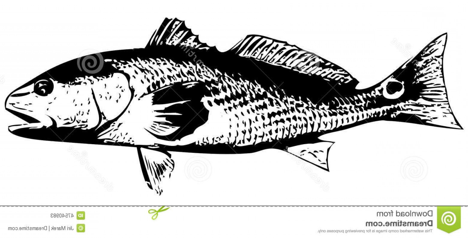 1560x794 Stock Illustration Redfish Red Drum Fish Vector Saltwater