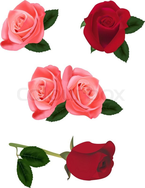 619x800 Beautiful Pink And Red Roses Isolated On The White Background