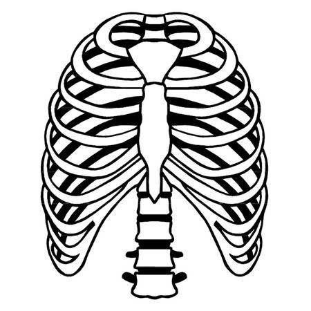 450x450 Collection Of Rib Cage Clipart High Quality, Free Cliparts
