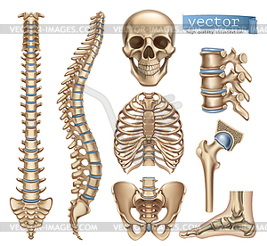 300x276 Human Skeleton Structure. Skull, Spine, Rib Cage,
