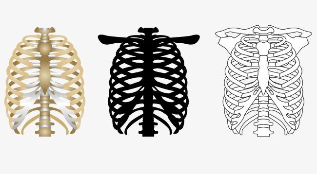 650x358 Vector Human Rib Bones, Human Body, Rib Cage, Skeleton Png And