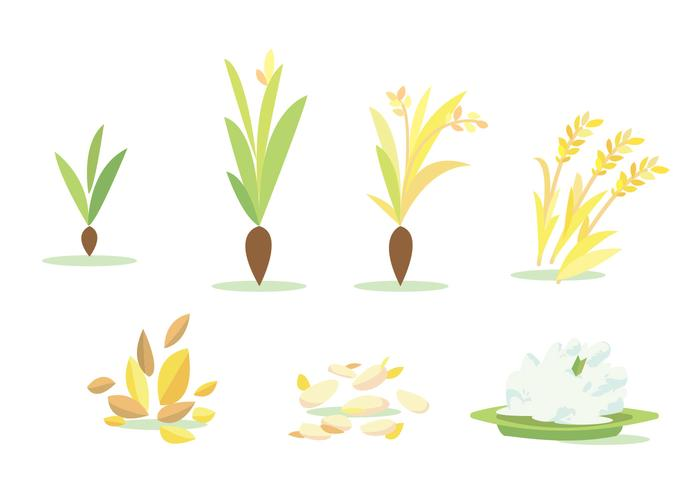 700x490 Rice Field Cycle Vector Set