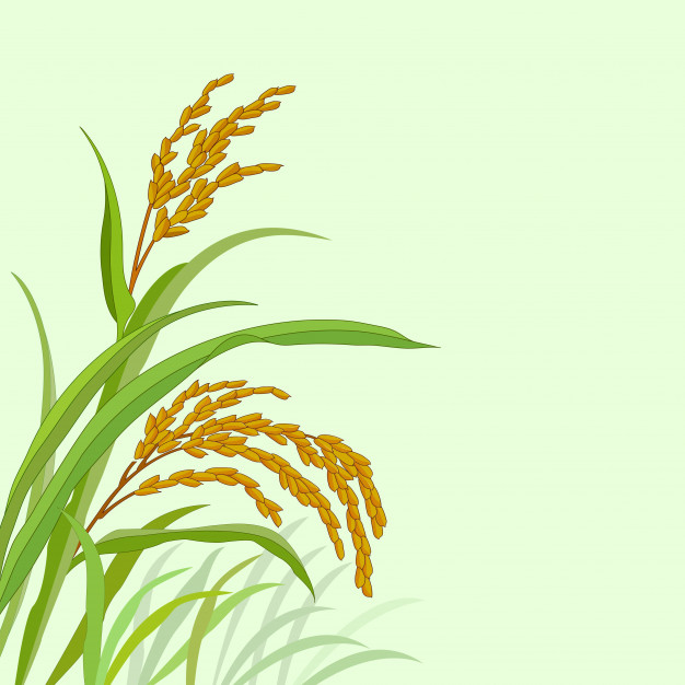 626x626 Rice Plant With Paddy Rice Vector Premium Download