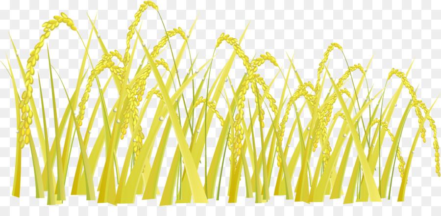 900x440 Jasmine Rice Oryza Sativa Golden Rice