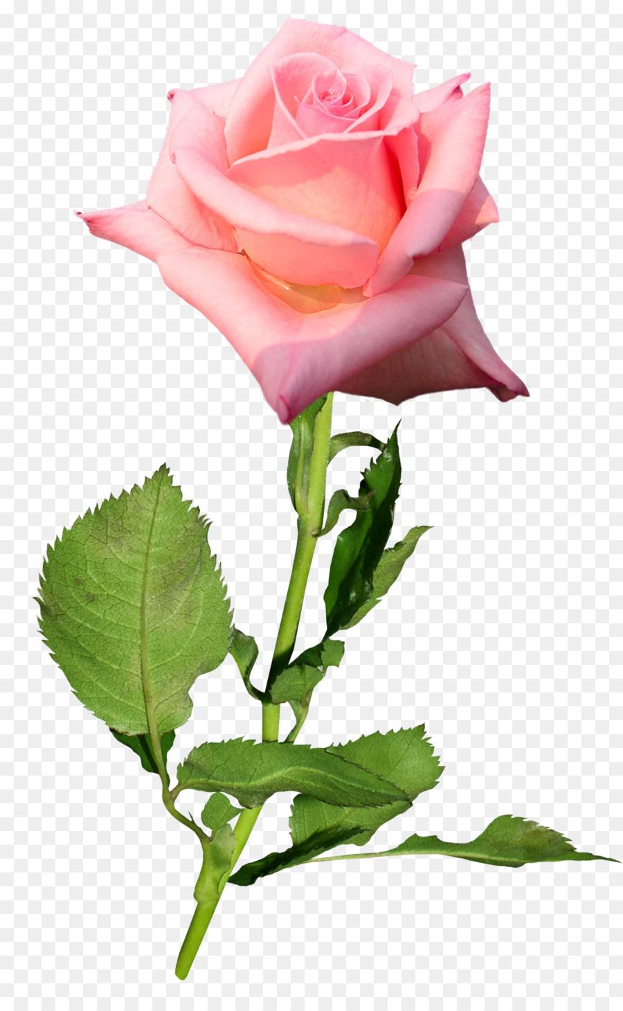 900x1460 Garden Roses Flower Hybrid Tea Rose Bud