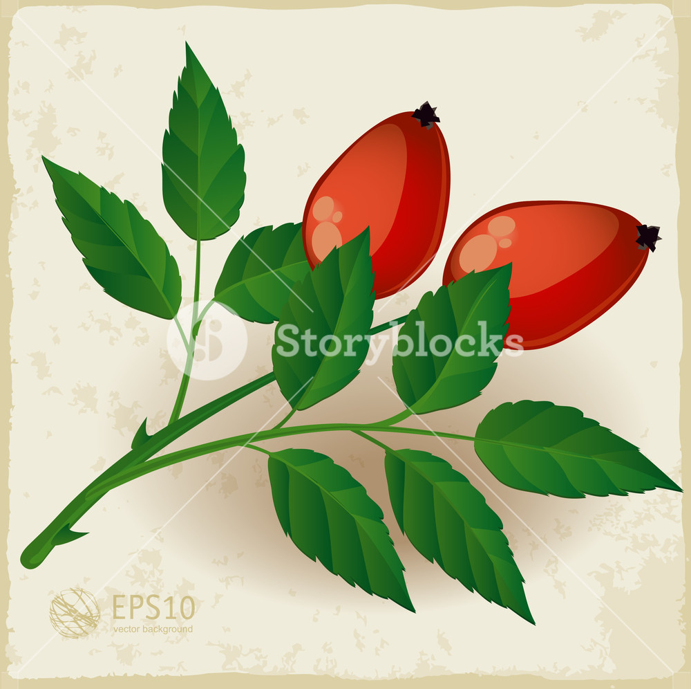 1000x996 Two Dog Rose Berry With Leaves. Vector. Royalty Free Stock Image