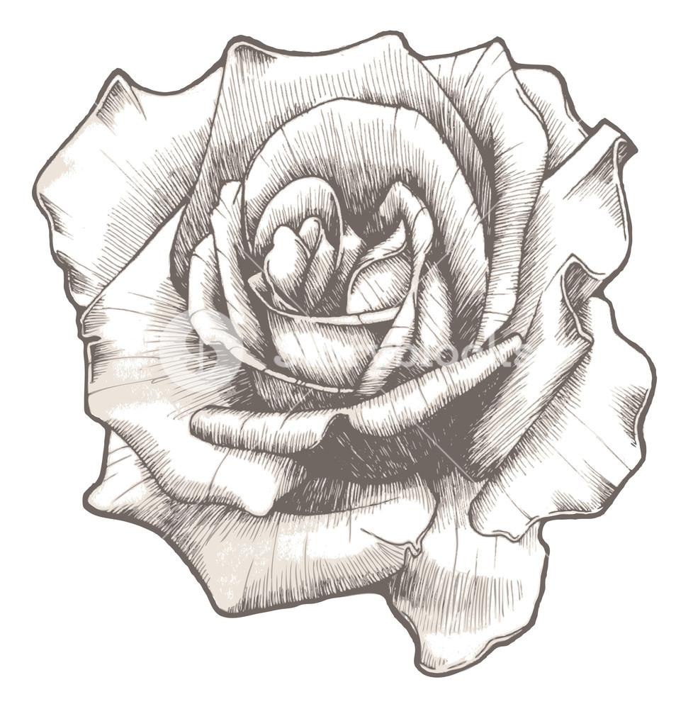 978x1000 Hand Drawn Rose Vector Illustration Royalty Free Stock Image