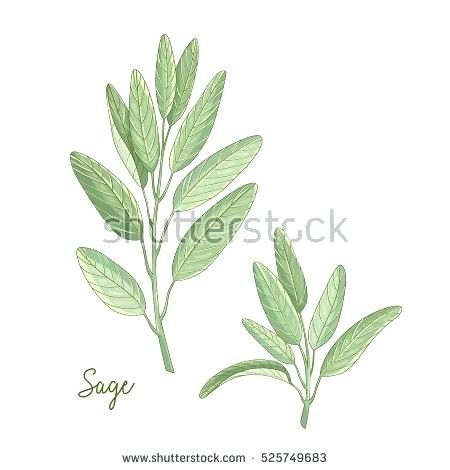 450x470 Sage Plant Images Vector Hand Drawn Illustration Of Sage Plant
