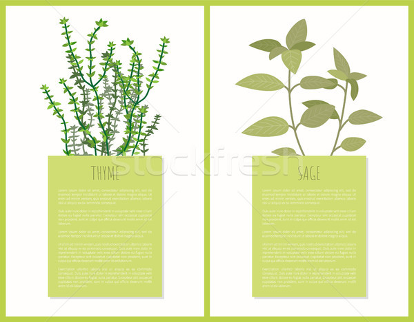 600x468 Thyme And Sage Spices Set, Vector Illustration Vector Illustration