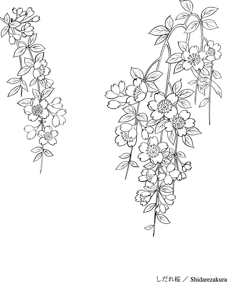 739x917 Vector Line Drawing Of Flowers 43(Sakura) Free Vector 4vector