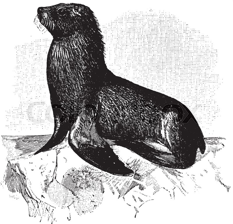 800x768 Sea Lions Are Sea Mammals Characterized By External Ear Flaps