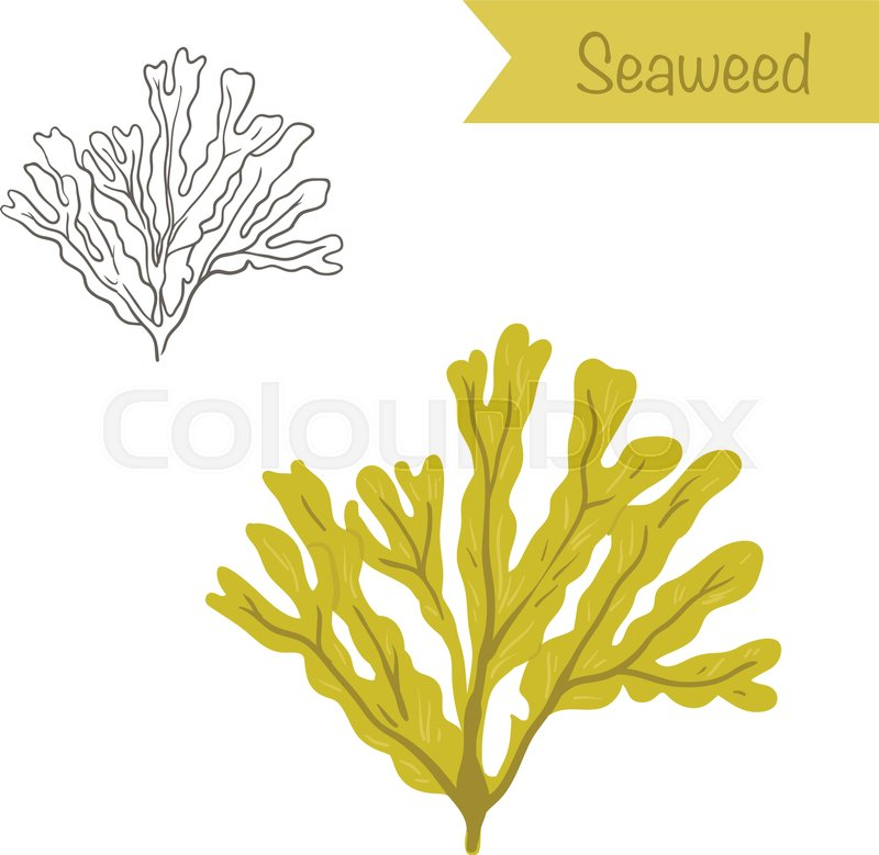 800x779 Hand Drawn Outlined And Colored Vector Seaweed Stock Vector