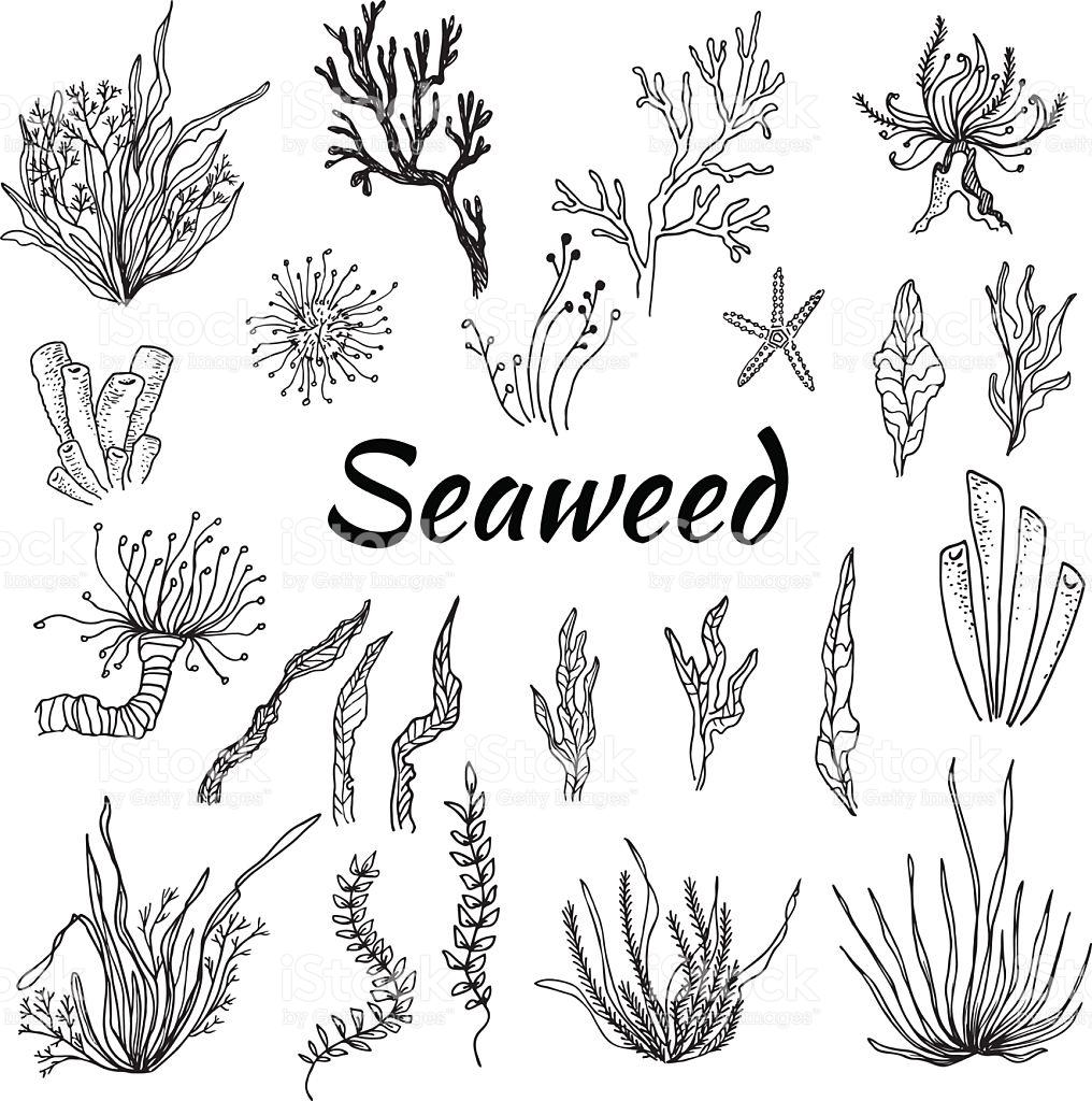 1016x1024 Seaweed Clipart Vector