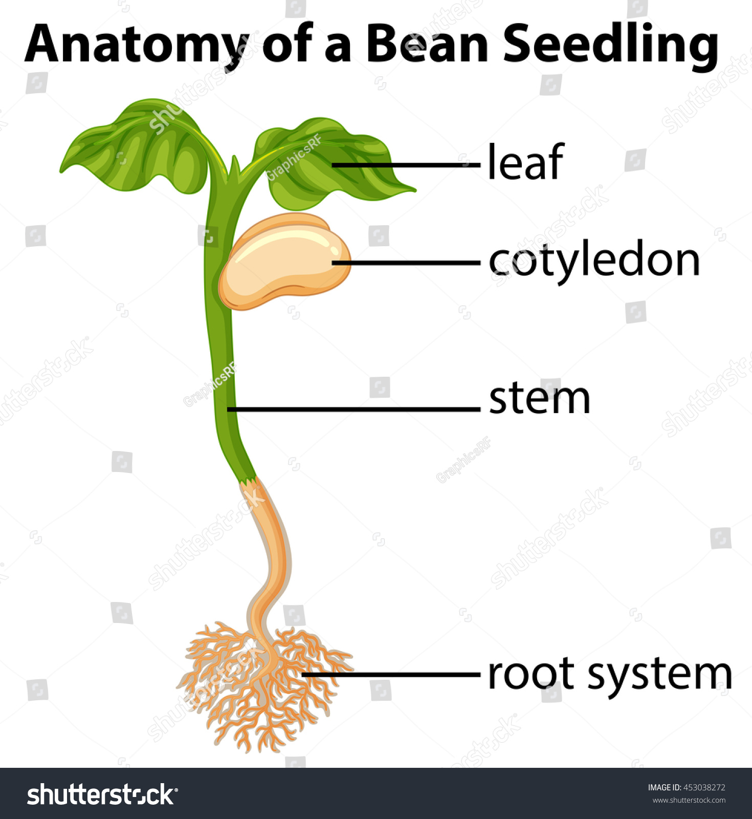 1470x1600 Anatomy Of A Bean Seedling On Chart Illustration Stock Vector