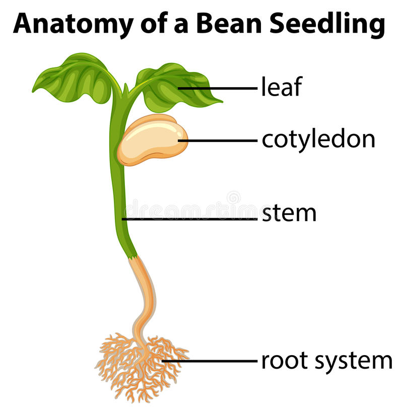 800x816 Anatomy Of Bean Plant Seedling On Chart Stock Vector Illustration