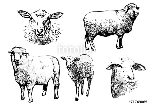 500x354 Sheep Vector Illustrations Stock Image And Royalty Free Vector