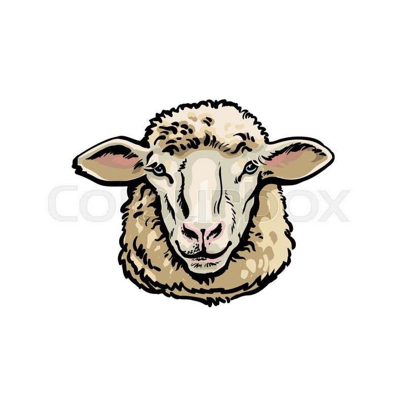 800x800 Front View Sketch Style Portrait Of Domestic Farm Sheep, Vector