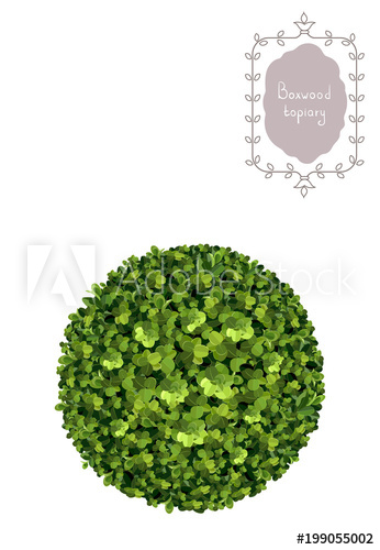 346x500 Ball Boxwood Topiary, Garden Plant, Vector Background. English