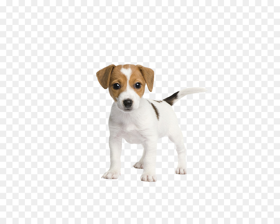 900x720 Jack Russell Terrier Puppy Pet Sitting Cuteness