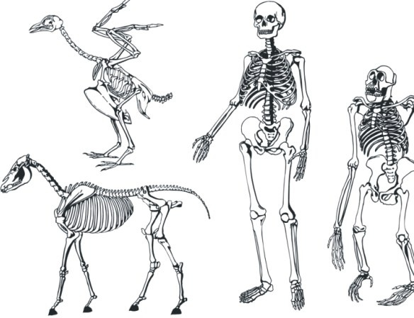 584x448 Bones Skeleton Vector Free Vector In Coreldraw Cdr ( .cdr ) Vector