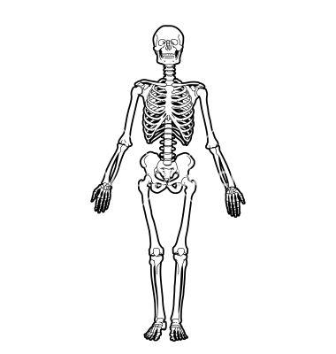 380x400 Human Skeleton Vector Beautiful Things Human